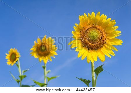 Full bloom sunflowers with clear blue sky background