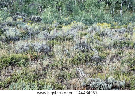 late summer tapestry of aspen trees , wildflowers, sagebrush and other shrubs in North Park of Colorado
