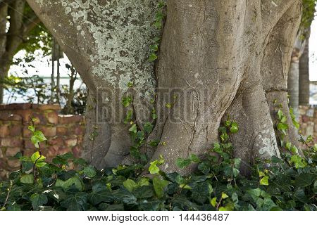 Old huge tree with big root system and ivy growing around the roots