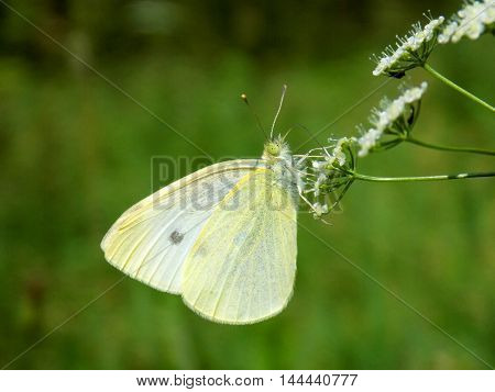 White butterfly on meadow flower in wild nature during spring