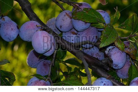 Ripe plums hanging from a tree in an orchard.