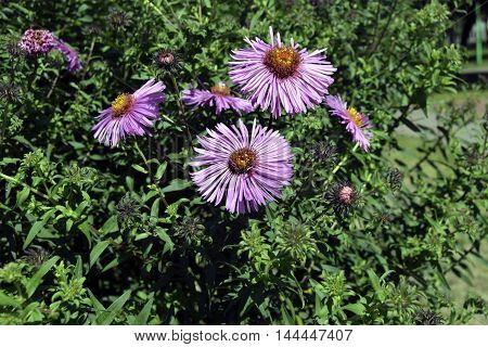 Asters grow in a garden. Aster this ornamental plant. Petals of lilac color.