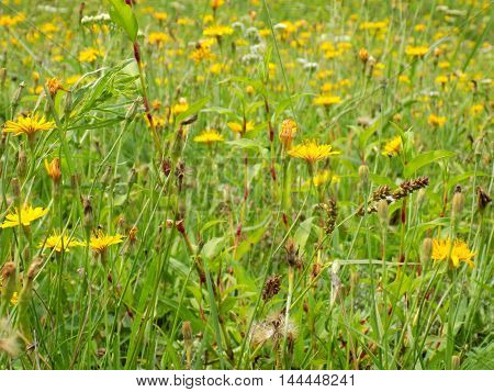 Many flowers on meadow in wild nature during spring