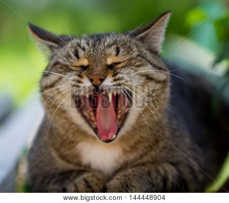 The striped cat yawns on the street with the small depth of sharpness
