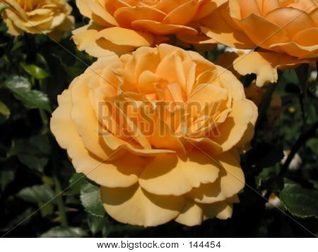 Peculiar Coloured Rose