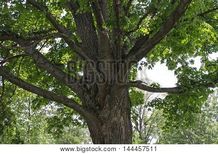 A mighty oak tree with magnificent branches with green leaves.