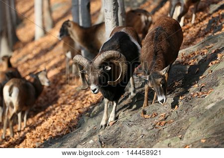 A herd of mouflon standing in the forest, with trees