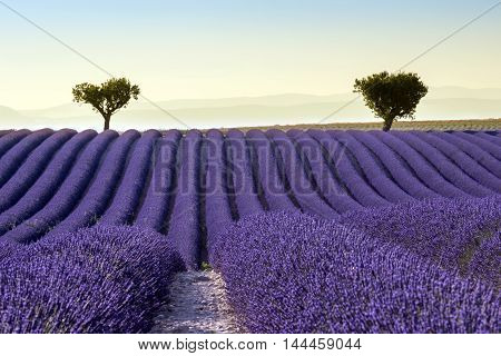 Lavender field summer sunset landscape with two tree near Valensole. Provence France
