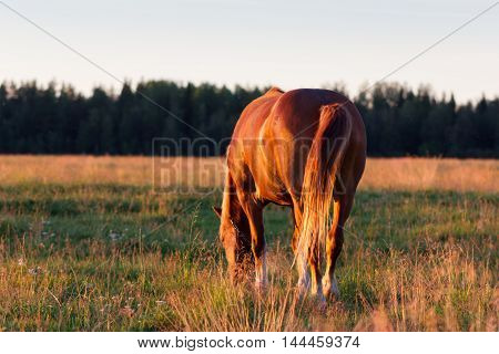 Red Horse At Golden Hour On A Pasture