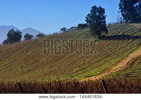 A vineyard hill in Casablanca valley, Chile