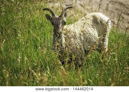 Big Horn Sheep in the Badlands National Park