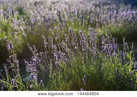 Sunbeam over lavender flowers during sundown .