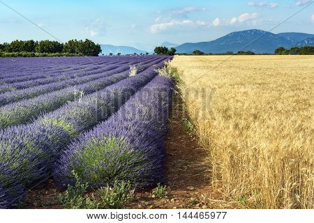 Rows of lavender and fields of grain. Plateau de Valensole Provence France