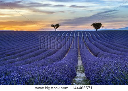Lavender field Summer sunset landscape with trees on horizon