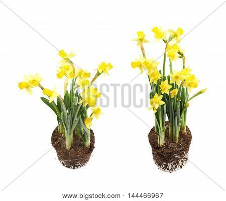 Yellow narcissus flower in a earth cylinder without a pot, composition isolated over the white background, set of two different foreshortenings