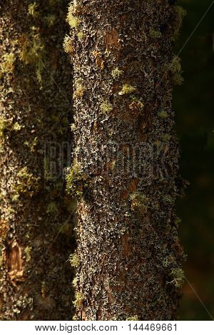 picture of an exterior Pacific Northwest Vine maple trees with  lichens