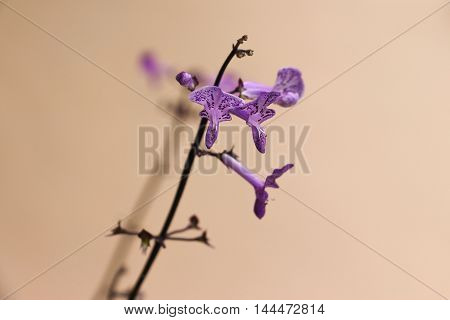 Beautiful unusual shape plectranthus ecklonii mona lavender flower.