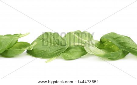 Line made of green fresh basil leaves isolated over the white background, close-up crop fragment composition