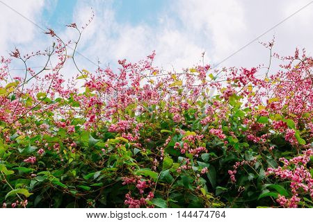 Beautiful Pink Coral Vine or mexican creeper or chain of love flowers