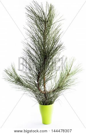 Pine branch in a glass on a white background