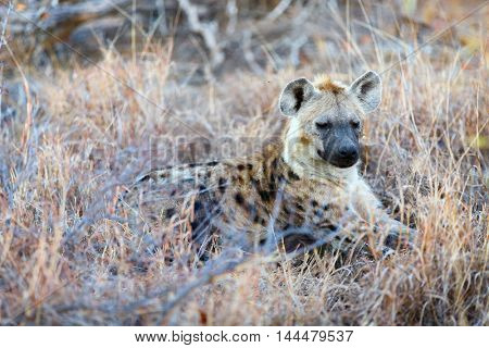 Hyena in safari park in South Africa
