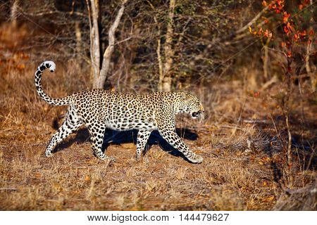 Young female leopard  in morning light in South Africa