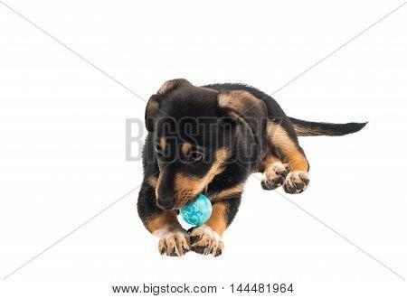 Dachshund puppy dog on a white background