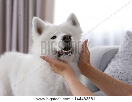 Female hands squeezing Samoyed dog, close up