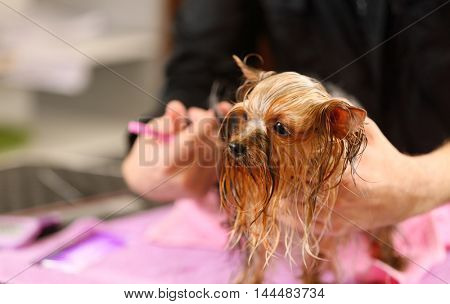 Canine hairdresser grooming Yorkshire dog in salon