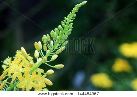 Bulbine latifolia var. latifolia originated from South Africa