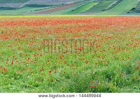 Castelluccio di Norcia (Umbria) colorful flowers blooming