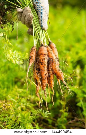 Fresh raw carrot bunch in hands in protective gloves, selective focus