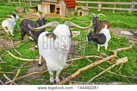 Long horned goat squad - Group image in a goat ranch with this white exemplar in the front line I think also it's something like a chief or farm elder considering the big horns and a long beard.
