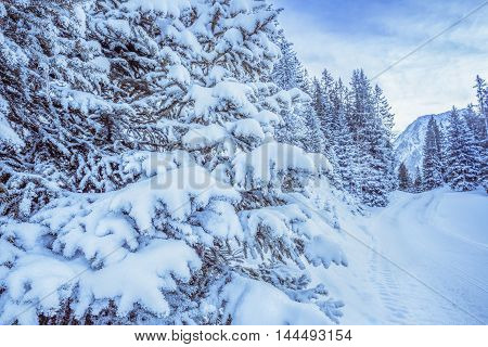 Snowy branches of trees - Close-up image with branches of fir loaded with snow on the side of a path mountains and forest in the background.