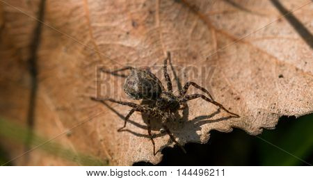 Small Brown Spider On A Dry Leaf