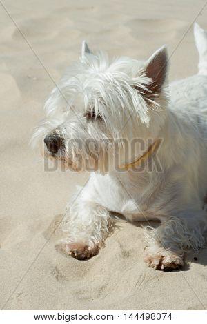 happy white west higland terrier at beach