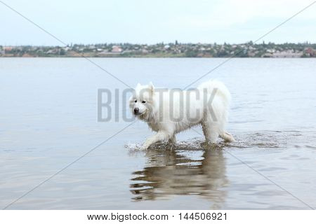 Fluffy samoyed dog in water on river bank