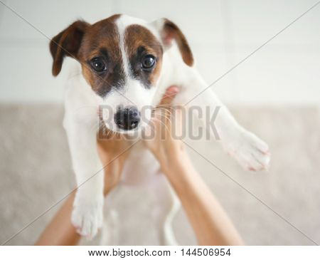 Woman holding Jack Russell terrier