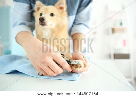 Cute dog Spitz at groomer salon