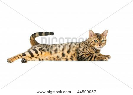 Portrait of beautiful bengal cat isolated lying over white background. Copy space.