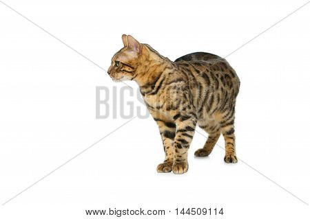 Portrait of beautiful bengal cat isolated over white background. Copy space.