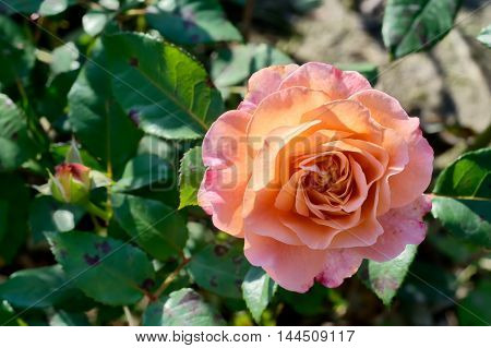 Pink And Peach Rose