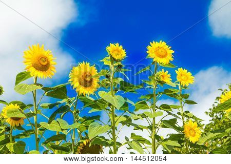 Beautiful yellow sunflowers on the blue sky outdoor in nature
