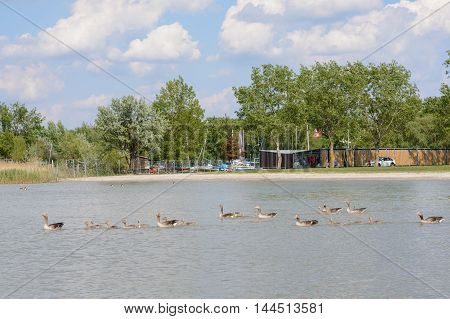 Greylag Geese swimming with young on Lake Neusiedl - Austria