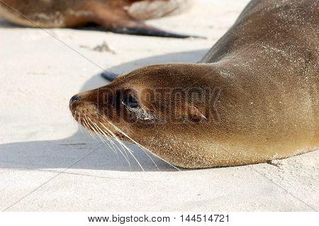 Closeup of sea lion sunbathing on Galapagos beach
