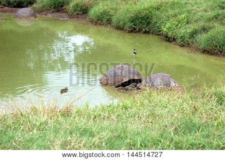 Giant Galapagos tortoises in their natural habitat at El Chato Tortoise Reserve, Santa Cruz, Galapagos Islands, Ecuador