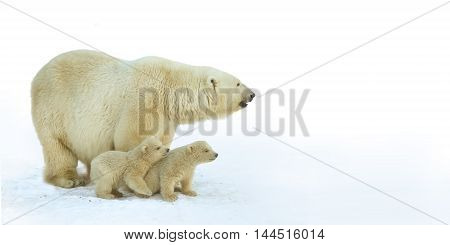 Polar bear with young cubs on the snow.