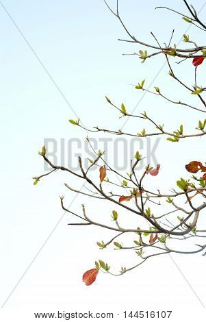 Red leaves and fresh leaves of sea-almond tree