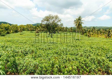 Manioc / cassava farming area in the agricultural industry.