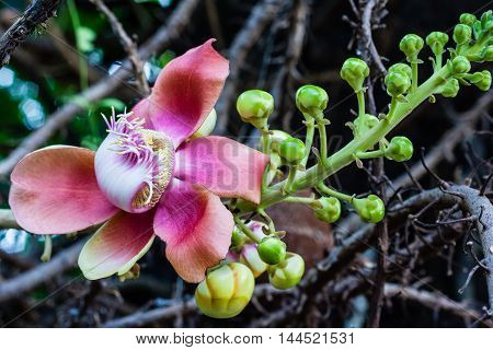 SalShal SakhuwanSal Tree Sal of IndiaClose up beautiful flower cannonball flower or Sal flower